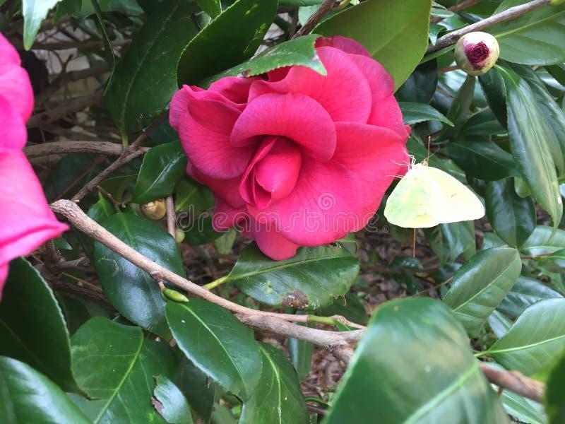 Dunkles Rosa Camellia Flower mit einer gelben Motte lizenzfreies stockbild