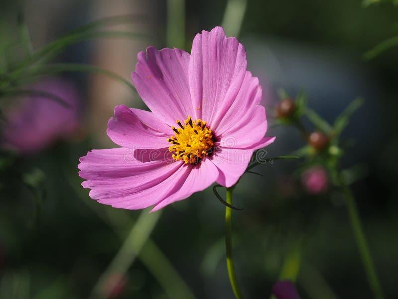 Dunkles rosa Cosmo in der Blüte stockbild