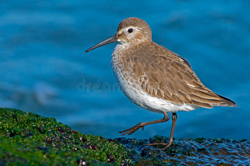 Download Dunlin stock photo. Image of bird, shore, calidris, seeing - 28309428