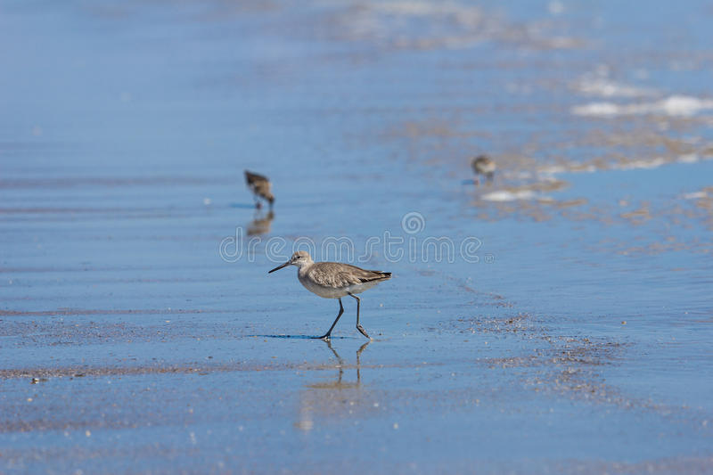 Dunlin obrazy royalty free