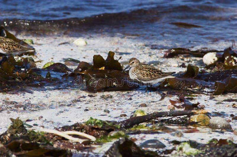 Dunlin auf dem Strand lizenzfreie stockfotos