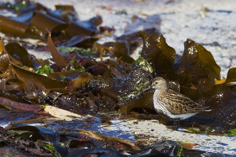Dunlin on the beach royalty free stock image