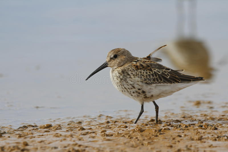 Dunlin Calidris alpina, a medium sized sandpiper and shorebird searching for food along the shoreline royalty free stock image