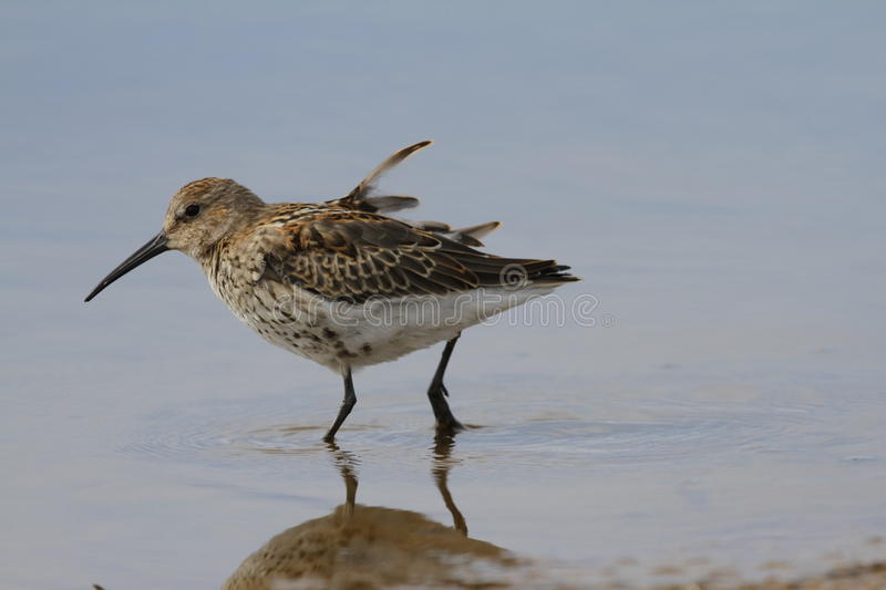 Dunlin Calidris alpina, a medium sized sandpiper and shorebird searching for food while standing in water stock images