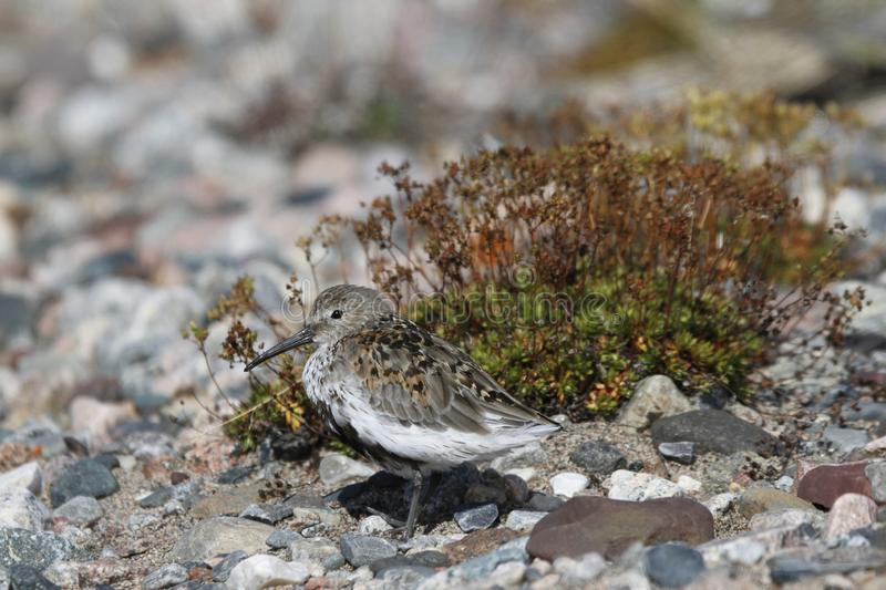 Dunlin, a medium sized sandpiper and shorebird standing sidewise with plants in the background stock images