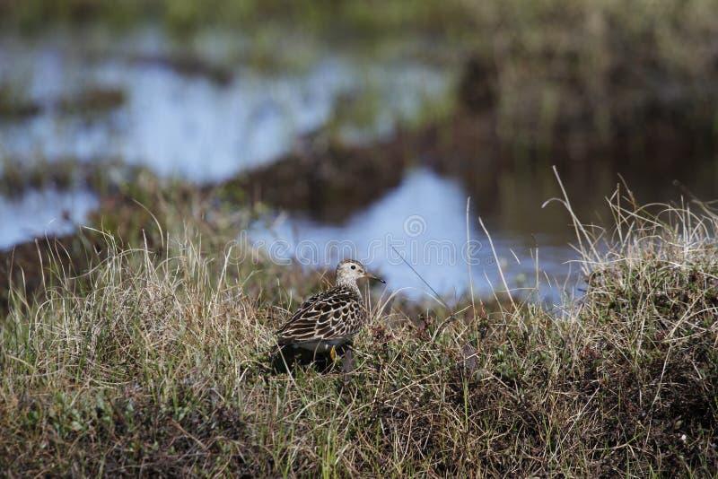 Pectoral Sandpiper, a medium sized sandpiper and shorebird walking among grass. Caption / Description Pectoral Sandpiper (Calidris melanotos), a medium royalty free stock photography