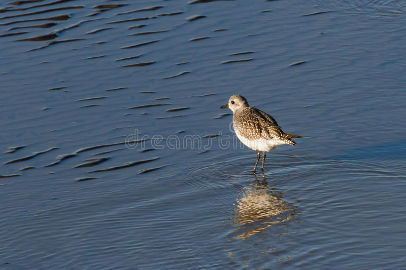 Download Dunlin stock image. Image of bird, nature, beach, wildlife - 36128583
