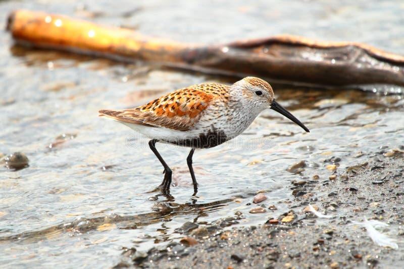 Dunlin, Shorebird Royalty Free Stock Photos