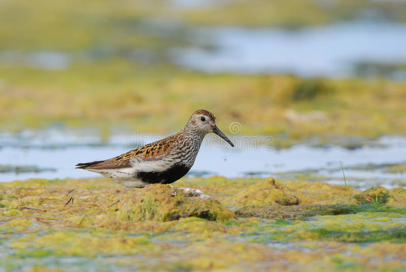 Dunlin in seaweed. Dunlin wading in colorful kelp stock photos