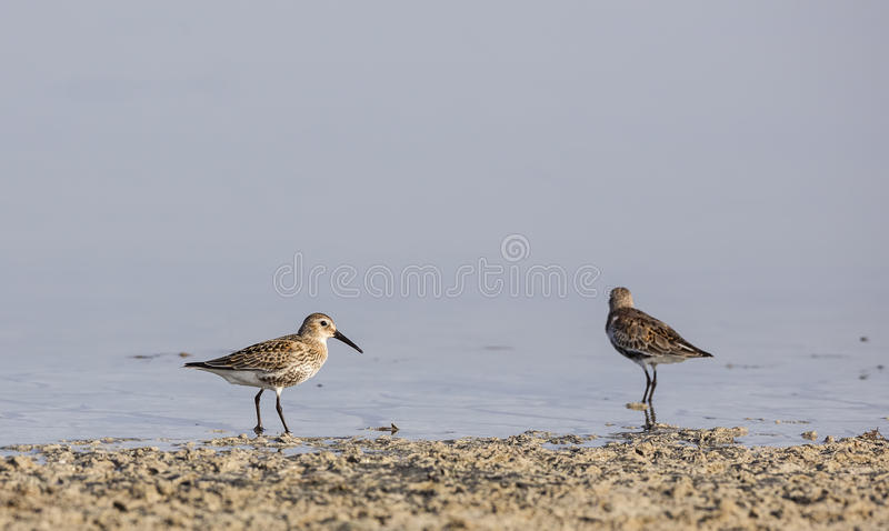 Dunlins. Two dunlins (Calidris alpina)are feeding on pond stock image