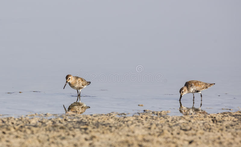 Dunlins. Two dunlins (Calidris alpina)are feeding on pond royalty free stock photo