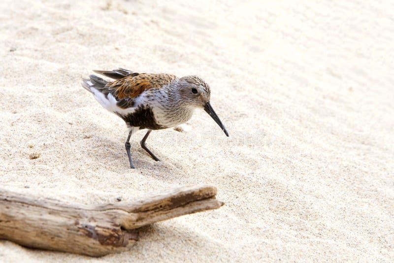 Dunlinvogel auf sandigem Strand lizenzfreies stockfoto