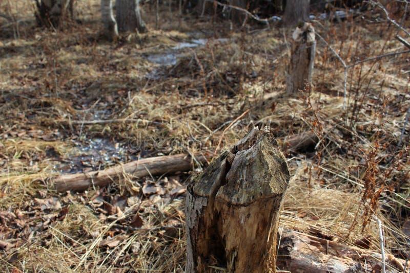 Dunne die boomstammen van bomen door bevers in het bos worden gekauwd, die slechts stompen erachter op de bevroren grond verlaten stock afbeelding