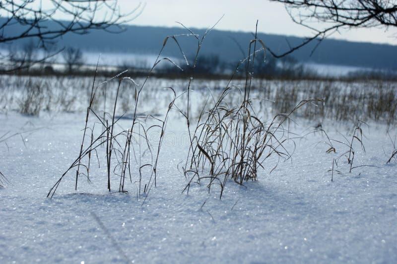 Dunne grassprieten in witte sneeuw stock afbeeldingen