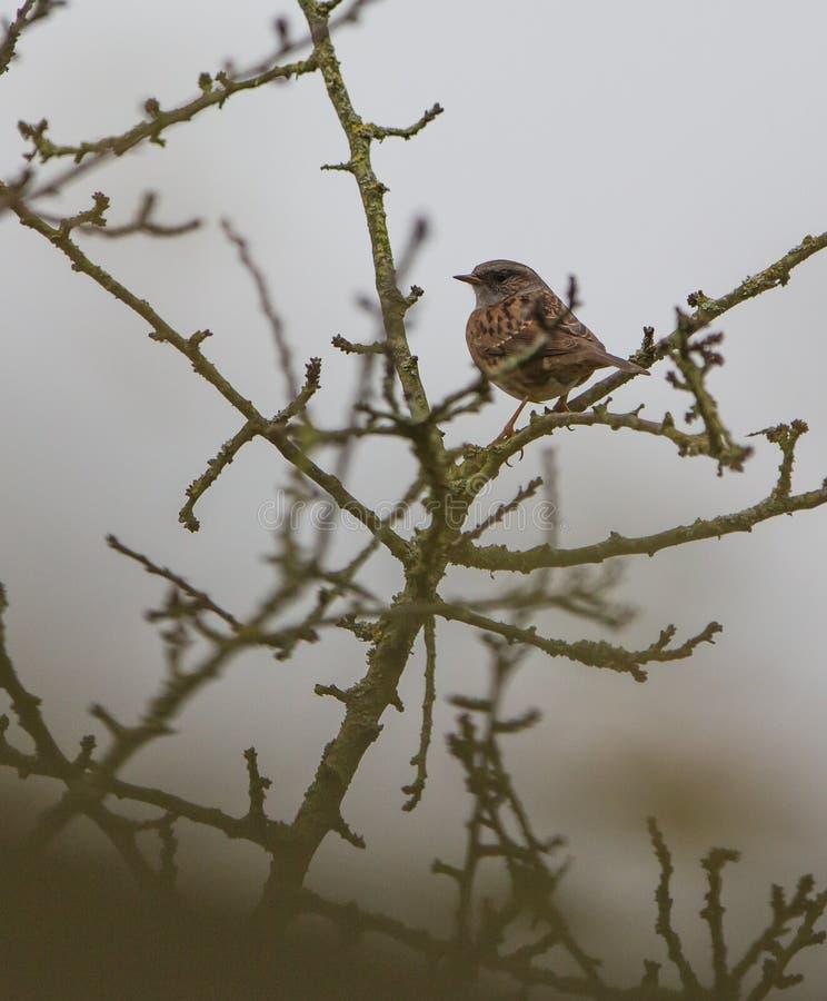 Download Dunnock stock photo. Image of animal, bird, northern - 28237622