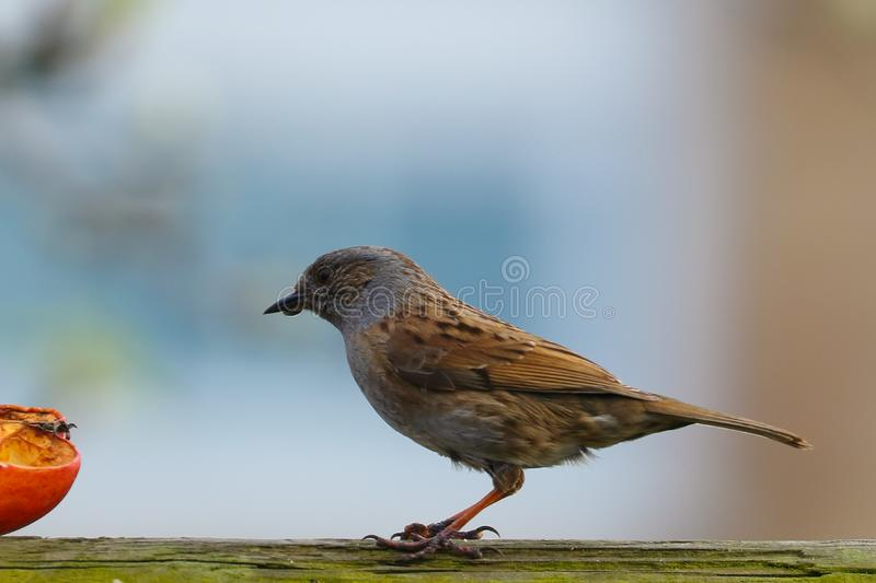 Dunnock near an apple. A pair of Dunnock`s have become regular visitors to my garden. Taken in Stevenage April 2018 stock photo
