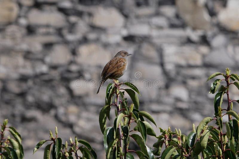 Dunnock, Prunella modularis ptasi portret/umieszczał na gałąź zdjęcia stock