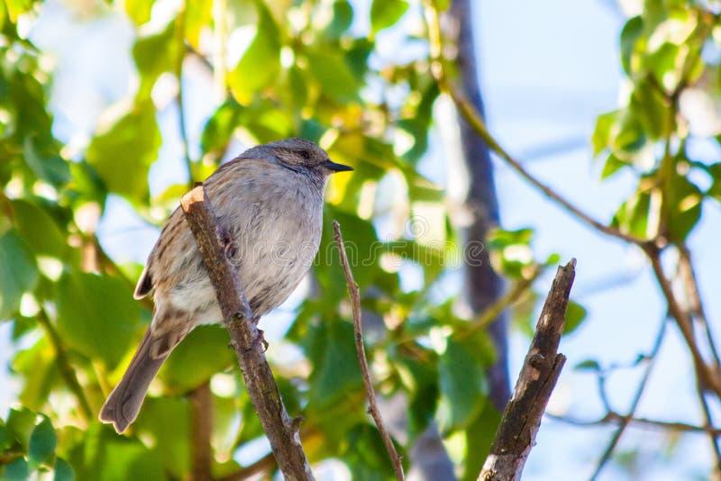 Dunnock ptak na gałąź w świetle słonecznym obrazy stock