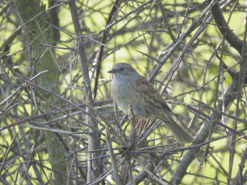 The dunnock,a small passerine, or perching bird. A small brown and grey bird with a slender black beak inhabiting a hawthorn hedge stock image