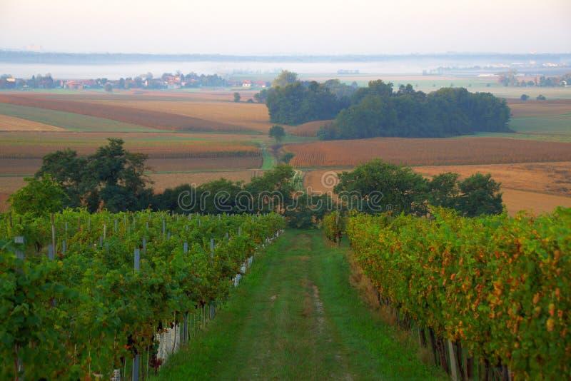 Dunstiger Autumn Morning In Vineyard, Slowenien stockfotos
