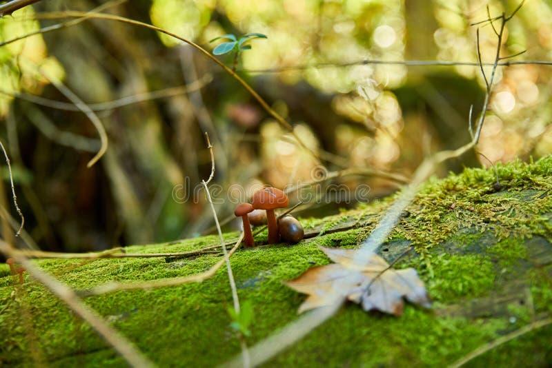 Duo aus kleinen Pilzen auf toten Falten, im Herbstwald stockfotografie