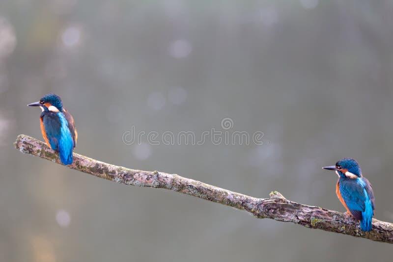 Duo comune del martin pescatore fotografia stock