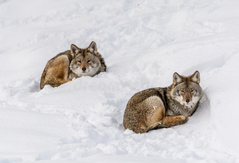 Duo of Coyotes Lying on the Snow.  stock image