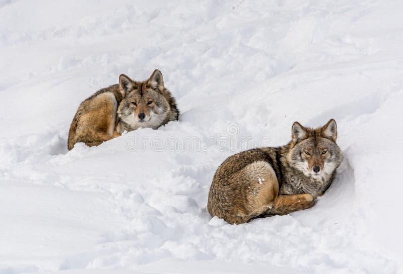 Duo des coyotes se trouvant sur la neige image stock