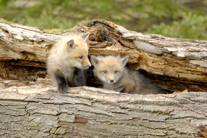Duo dos filhotes de cachorro do Fox vermelho - vulpes do Vulpes foto de stock royalty free