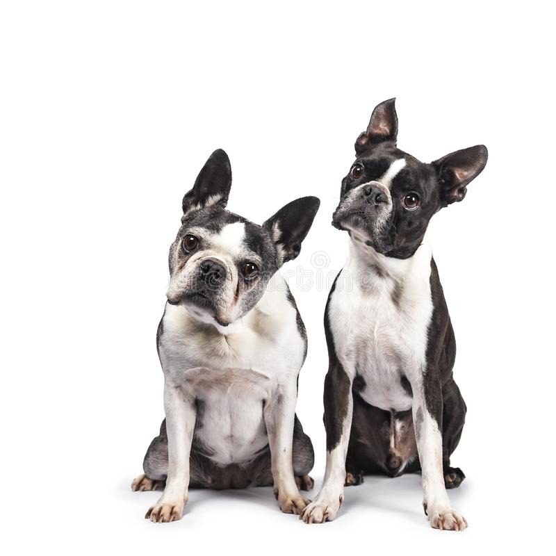 Duo engraçado de dois terrier preto e branco de Boston, isolado no fundo branco foto de stock