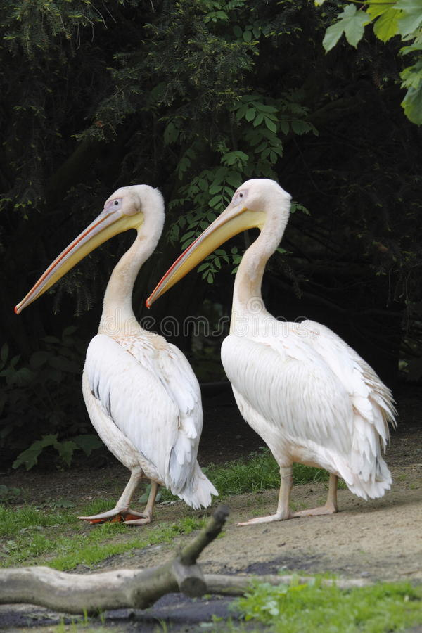 Duo of great white pelicans. The Great White Pelican, Pelecanus onocrotalus also known as the Eastern White Pelican or White Pelican is a bird in the pelican stock photo