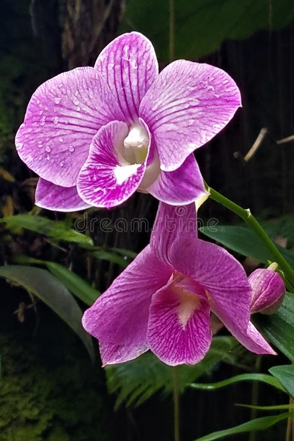 Purple orchid duo. This duo highlights both welcome sunlight and mysterious darkness in the Hawaii Tropical Botanical Garden near Hilo.  Tropical foliage adds stock photography
