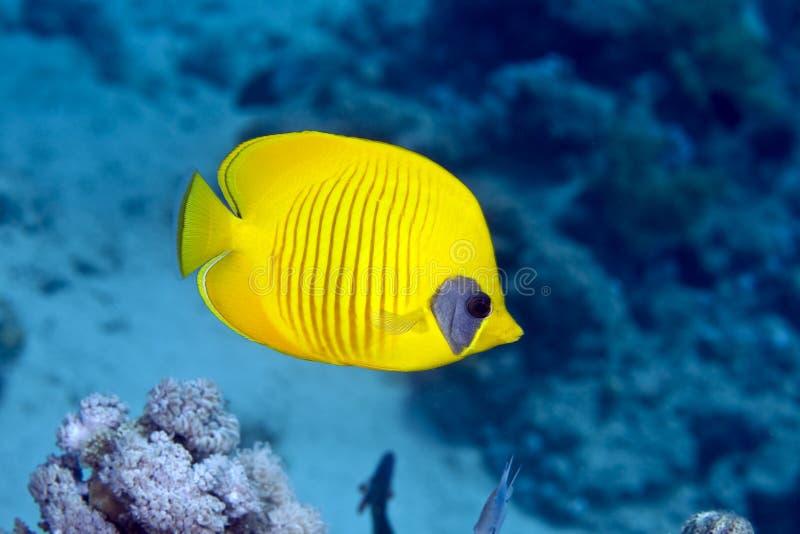 Duo mascarado do butterflyfish (semilarvatus do chaetodon) imagens de stock royalty free
