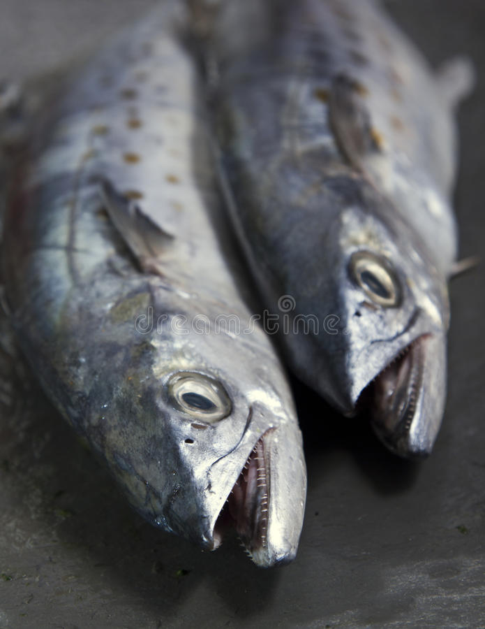 A duo of Spanish Mackerel showing off their sharp