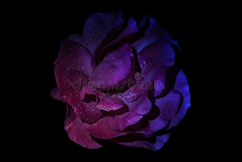 809 Neon Rose Photos Free Royalty Free Stock Photos From Dreamstime