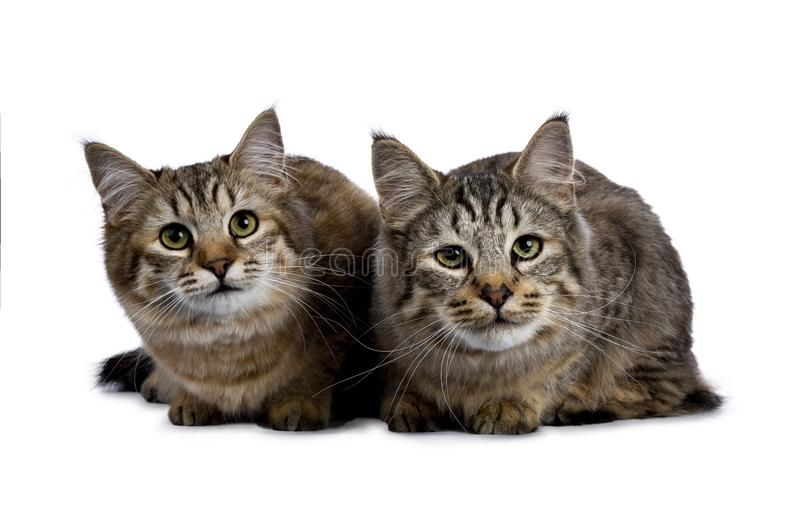 Duo van twee Pixie Bob-kattenkatjes beide bepalen geïsoleerd op witte achtergrond en het onder ogen zien van camera stock foto