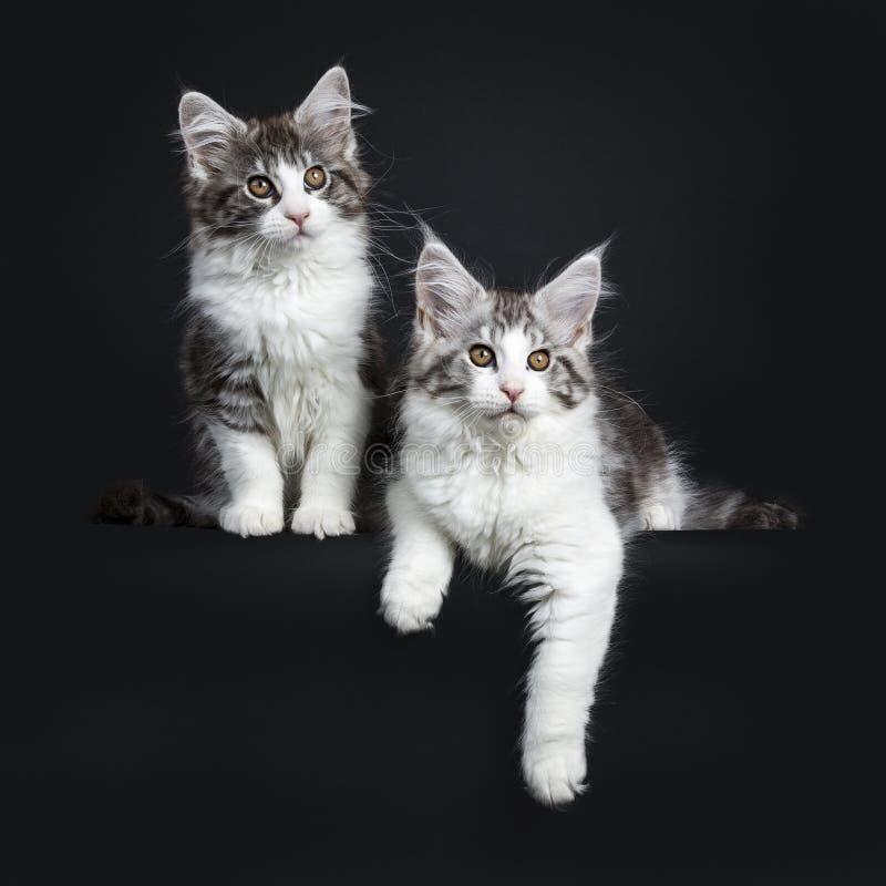 Duo van zwarte en bruine gestreepte kat twee met witte Maine Coon-katjes royalty-vrije stock foto