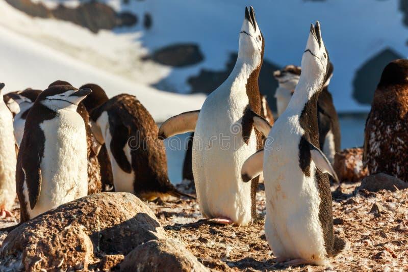 Duo von Gesang chinstrap Pinguinen Küken, Halbmondinsel, Ameise stockfotos