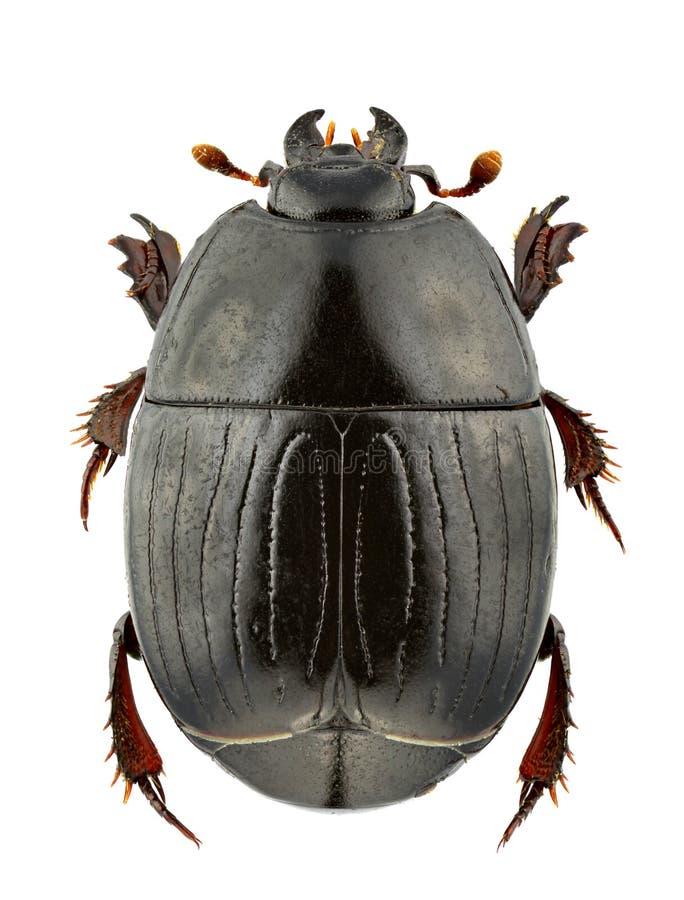 Duodecimstriatus de Atholus imagem de stock