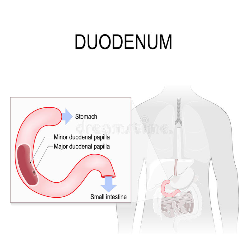 Duodenum stock vector. Illustration of duodenal, appendix - 86837688