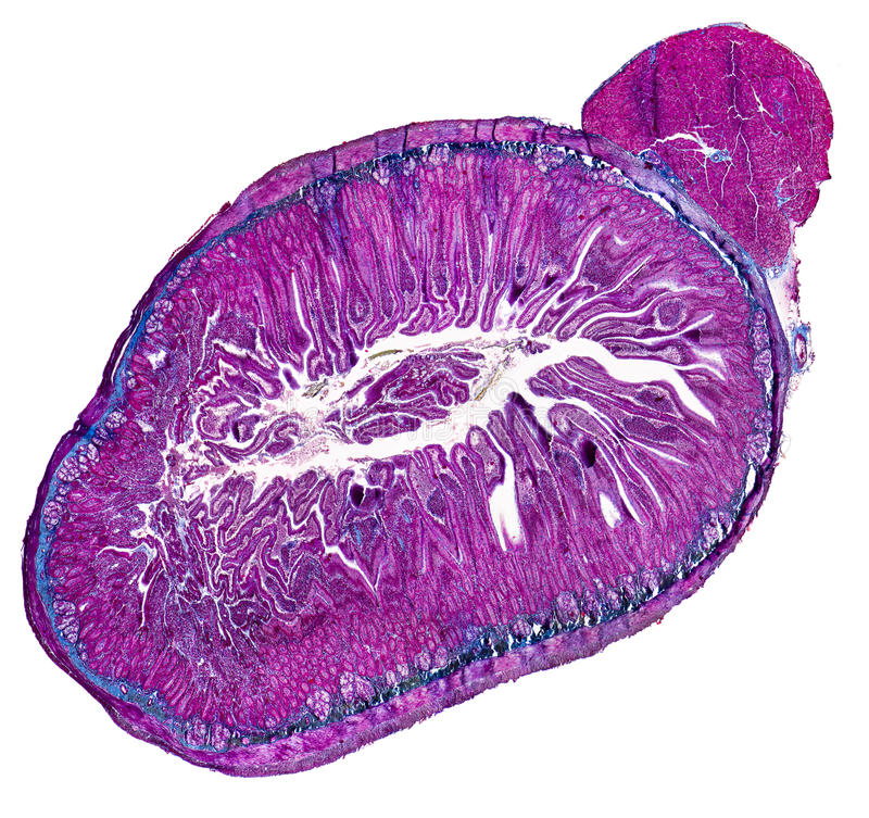 Duodenum cross section. Micrography in white back stock photo