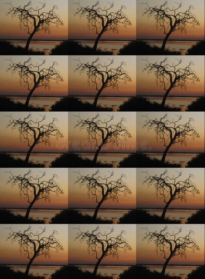 DUPLICATION OF TREE AGAINST SUNSET IN AFRICA. Duplication of a dry tree in silhouette against an African sunset stock photos