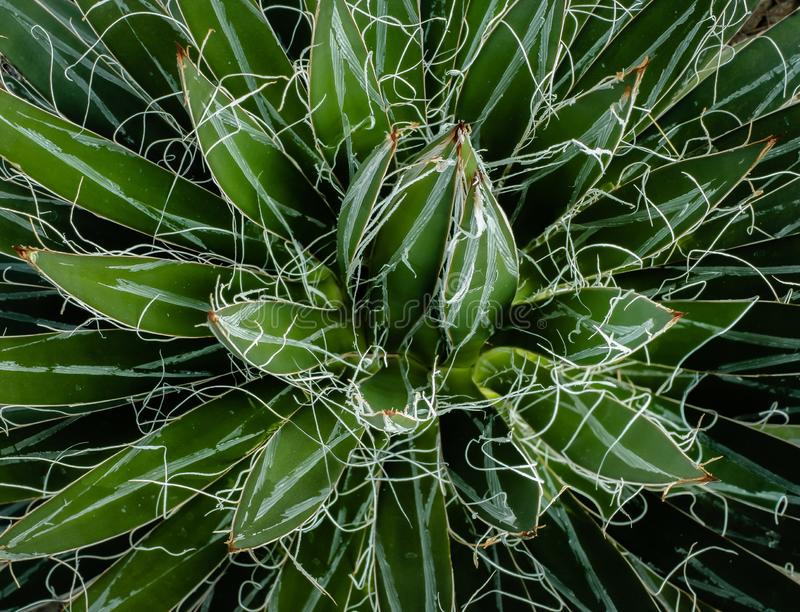 A Durango Agave, showing wispy white threads radiating from the rosette of  sword like leaves from this symmetrical toothless agav royalty free stock photo