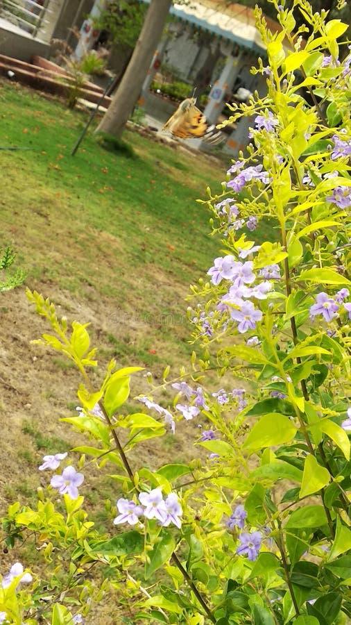 Duranta blomma fotografering för bildbyråer