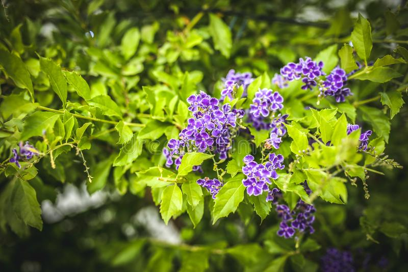 Duranta erecta紫色开花的灌木 库存图片