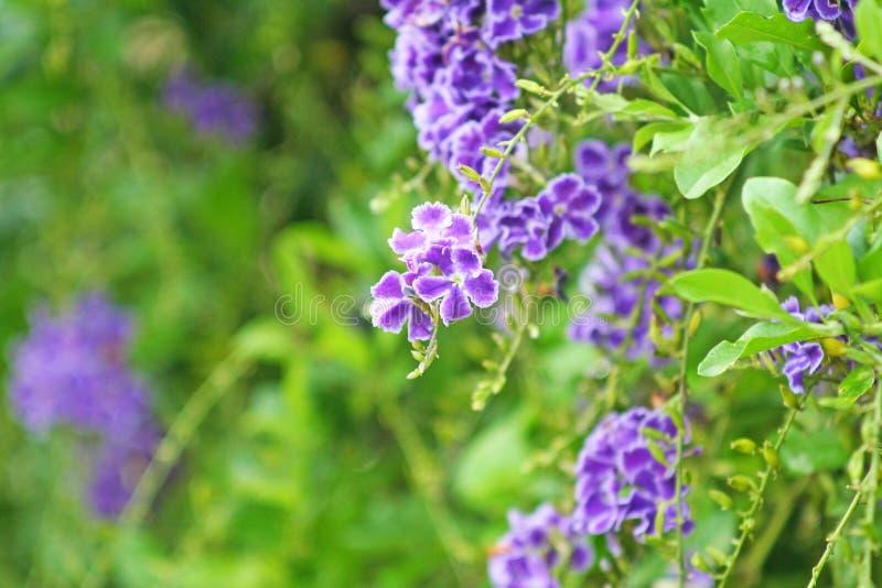 Duranta erecta fence tree,Purple flower blooming Sky flower stock photo
