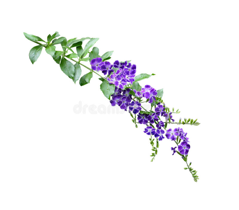 Duranta Erecta Flower stock image