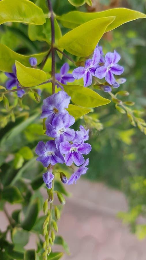 Duranta Erecta Skyflower evergreen med glansiga gröna sidor royaltyfri fotografi
