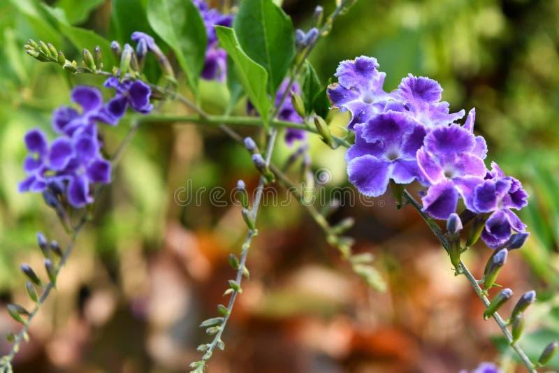 Duranta fiołek kwitnie w ogródzie zdjęcie stock