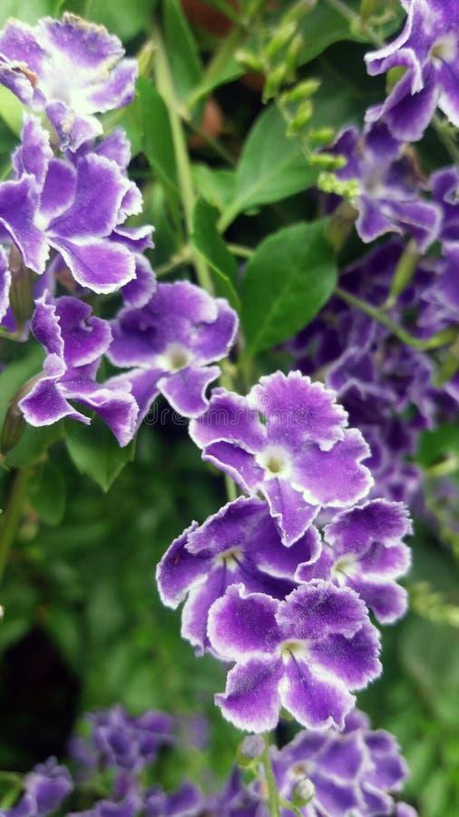 Duranta Flores violetas Bush floresceu Detalhe de flores violetas e brancas pequenas foto de stock royalty free
